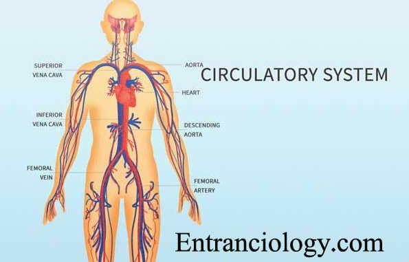 Amazing Facts Of Circulatory System Of Human Body Upsc Ias Ips
