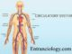 human body circulatory system entranciology