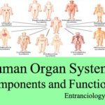 List of Human Organ Systems, Components and Functions