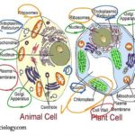 Difference Between Plant Cell and Animal Cell : Biology Theory Study