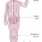 What is Human Nervous System ? Structure and Functions – Human Physiology and Anatomy