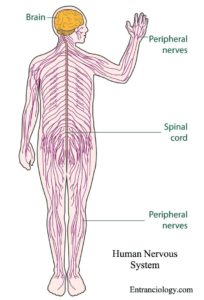 nervous system of human body entranciology functions physiology anatomy