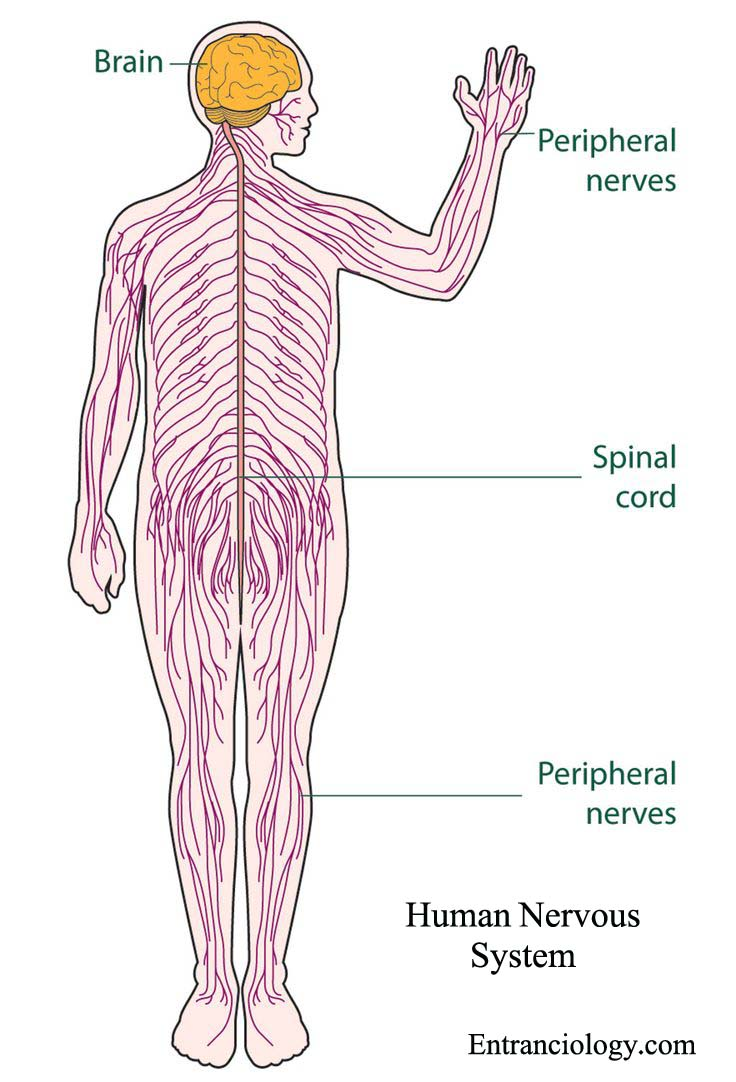 What Is Human Nervous System Structure And Functions Human